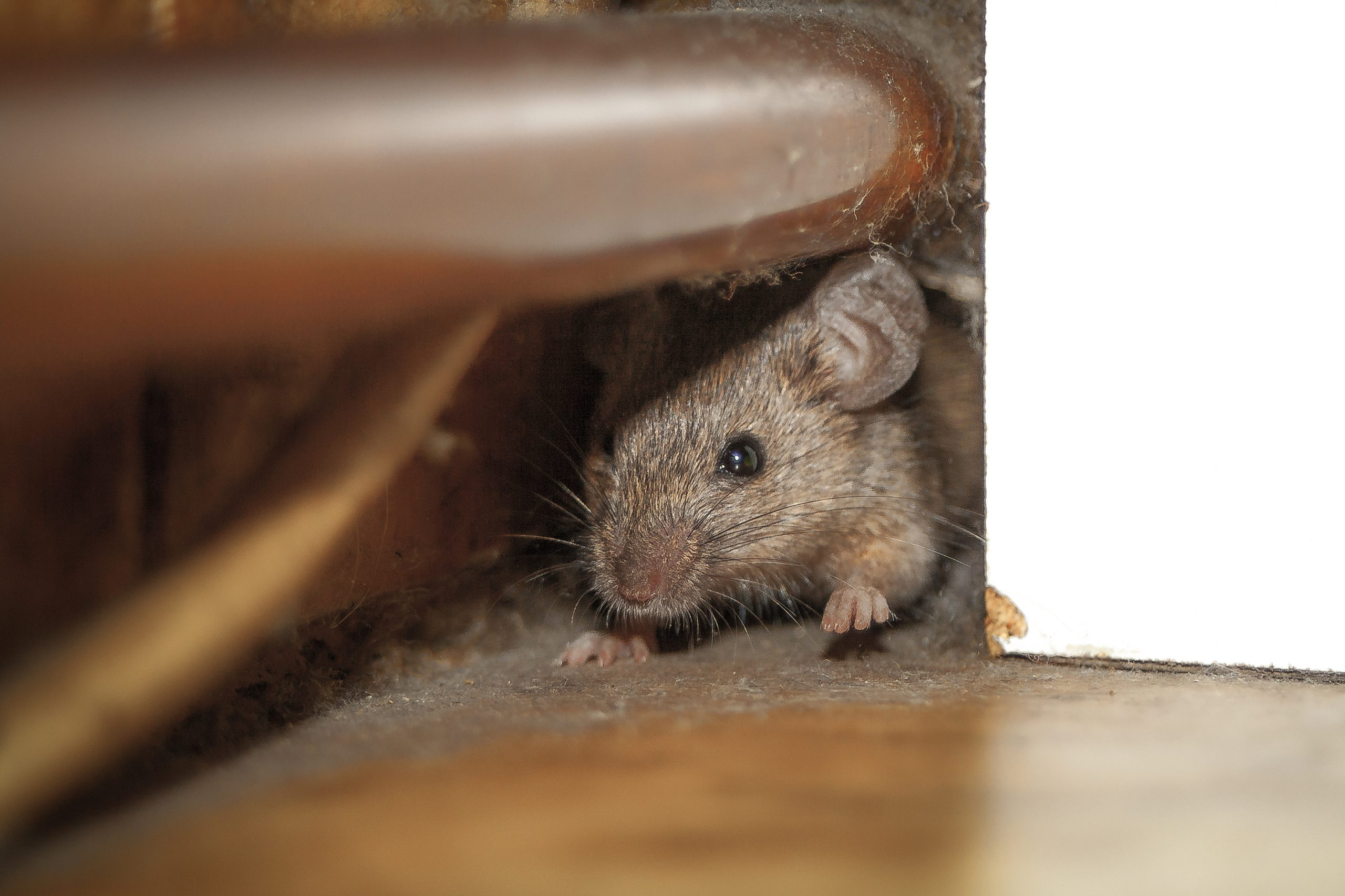 The Best Way to Get Rid of Rats